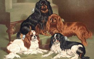 History of Companion Dogs King Charles Spaniels c 1895