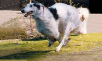 Borzoi Galloping