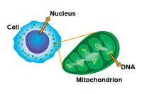 Cell showing Nucleus and Mitochondria