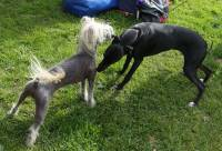 Chinese Crested and Italian Greyhound