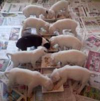 A litter of Bull Terriers