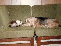 Airedale Terrier and cat