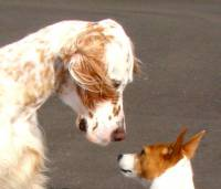 English-Setter and Tenterfield Terrier