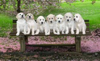 Golden Pups on Seat