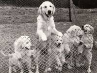 Golden Litter from Artificial Insemination 1979