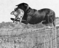 Field and Retrieving Trial Ch Panther Dell Panther