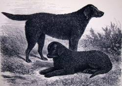 Curly Coated Retrievers c 1875