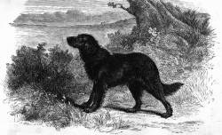 Wavy or Flat coated Retriever c 1870
