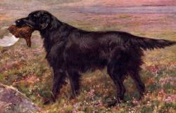 Wavy (Flat) Coated Retriever c 1907