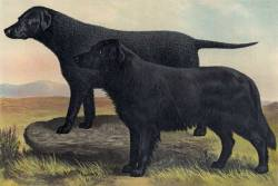 Wavy (Flat) and Curly Coated Retrievers c 1870