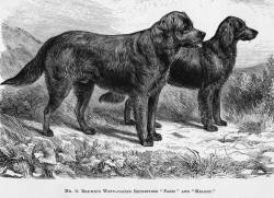 Wavy (Flat) Coated Retrievers c 1872
