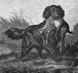 Wavy (Flat) Coated Retriever c 1880