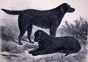 Curly Coated Retrievers c 1880