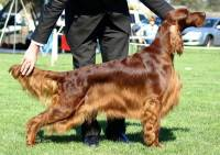 Irish Setter in Show Coat