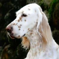 English Setter Orange Belton