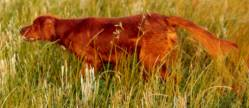 Irish Setter in Field Trial