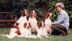 A Group of Red and White Setters