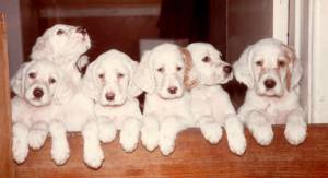 English Setter Orange Belton Puppies