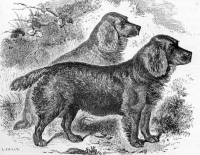 Sussex Spaniels 1859