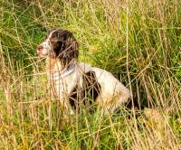English Springer working