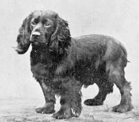 Cocker Spaniel born 1894