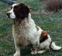 Working English Springer Spaniel