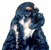 Cocker Spaniel (American) Black and Tan