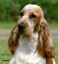 Cocker Spaniel (Orange Roan)