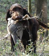 Field Spaniel Working