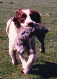 English and Welsh Springer Spaniels » JaneDogs