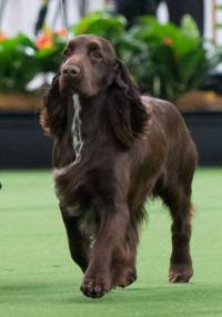 Field Spaniel's unhurried gait