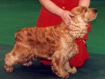 Cocker Spaniel (Red)