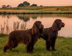 Field Spaniels at Sunrise