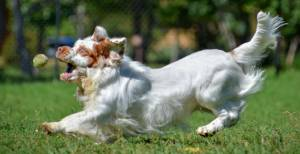 The Agility of a Clumber Spaniel