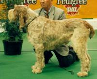 Spinone (brown roan)