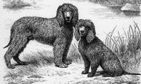 Irish Water Spaniels c 1884