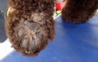 Irish Water Spaniel foot