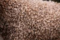 Lagotto Coat