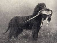 Irish Water Spaniel 1929