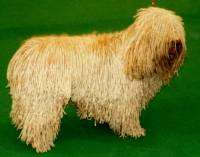 Spanish Water Dog (white)