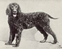 Irish Water Spaniel 'Liberator'