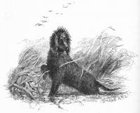 the 'Southern' Irish Water Spaniel 1859