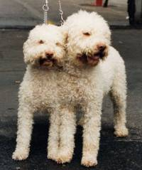 Lagotto Bitch and Dog