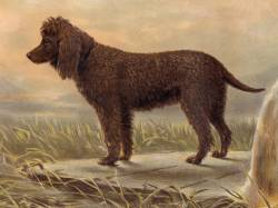 Irish Water Spaniel » JaneDogs