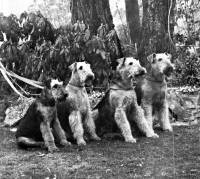 Four Airedales from Gundowringa