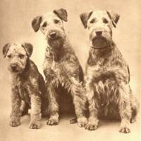 Airedales c 1900