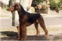 Airedale Bitch