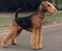 long legged terrier long legged terriers 187 janedogs 1555