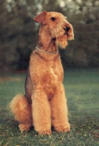 Hand Stripped Airedale
