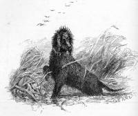 Irish Water Spaniel c 1870